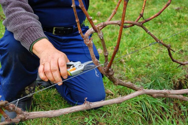 Обрезка винограда – необходимая и регулярная процедура