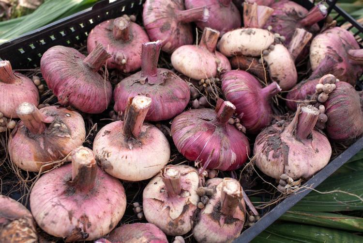Так выглядят луковицы гладиолусов