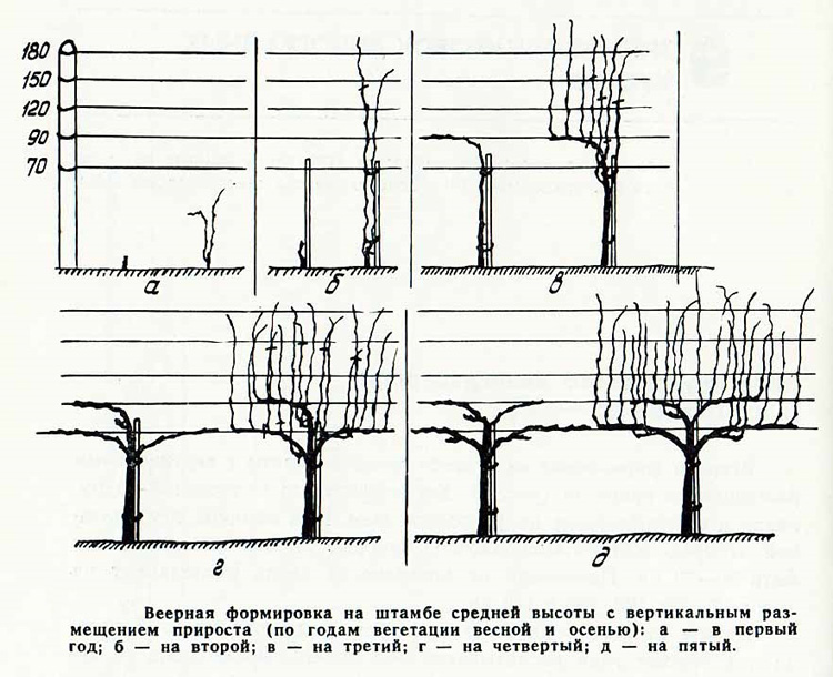 Веерная формировка на штамбе средней высоты с вертикальным размещением прироста