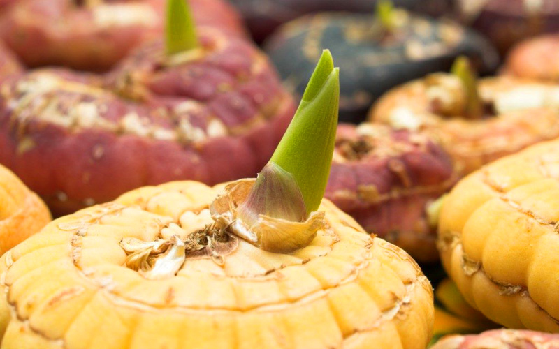 Что делать с выкопанными луковицами гладиолусов