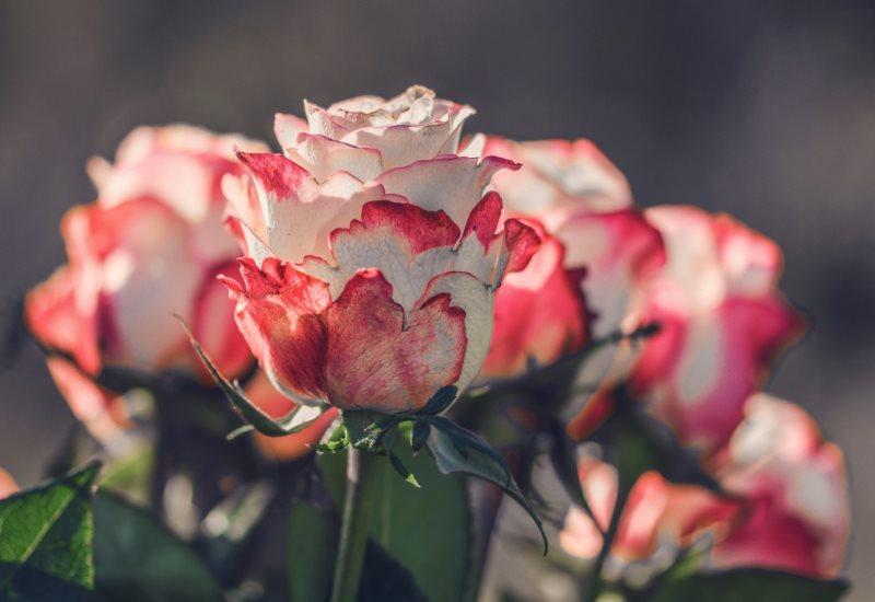 Уход за царицей цветника осенью: черенкование роз в домашних условиях