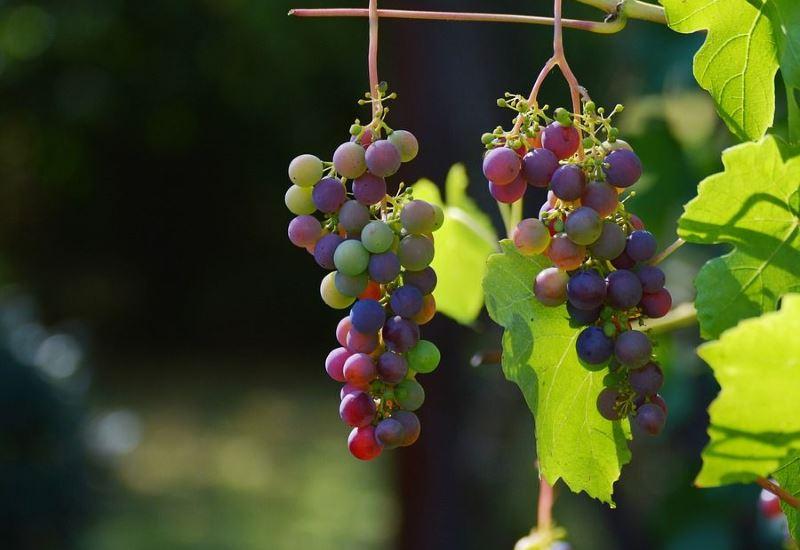 Защищаем будущий урожай, или как правильно укрыть виноград на зиму без усилий и хлопот