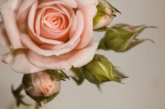 Создаём розарий сами, или как выращивать розу дома и в саду