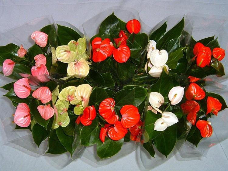 Советы цветоводу: как ухаживать за цветком «Женское счастье» или спатифиллум