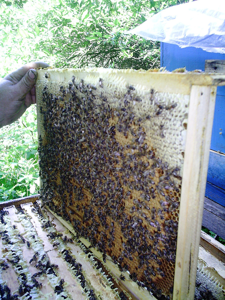 Пчелиный подмор: лечебные свойства, способы применения и рецепты
