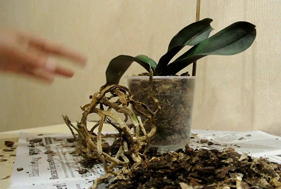 Королевский цветок – орхидея. Уход и размножение в домашних условиях