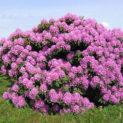 Рододендрон: что это за цветок и как правильно за ним ухаживать