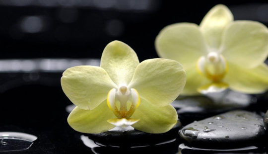 Королевский цветок – орхидея.Уход и размножение в домашних условиях
