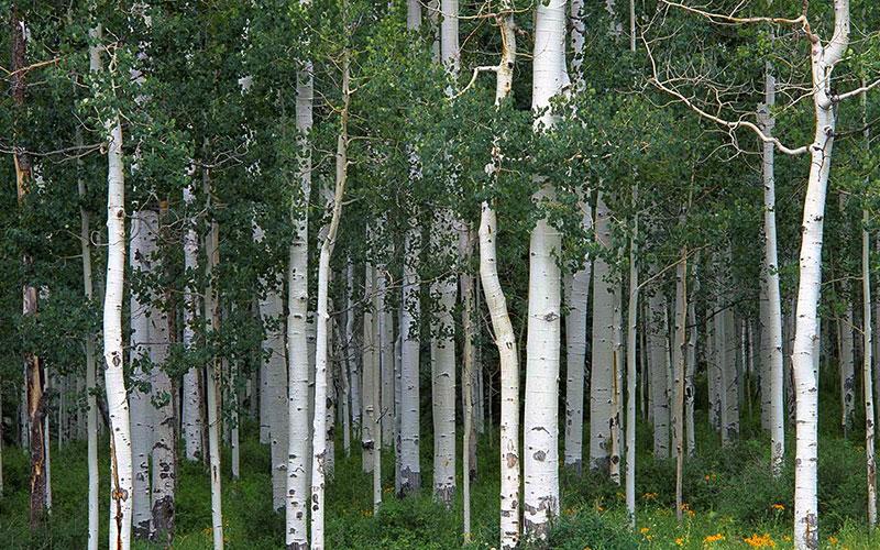 Как выглядит осина: фото дерева и листьев