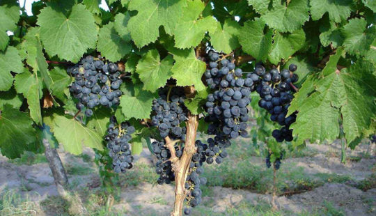 Азы виноградарства: обрезка винограда осенью для начинающих в картинках и как сформировать сильный куст
