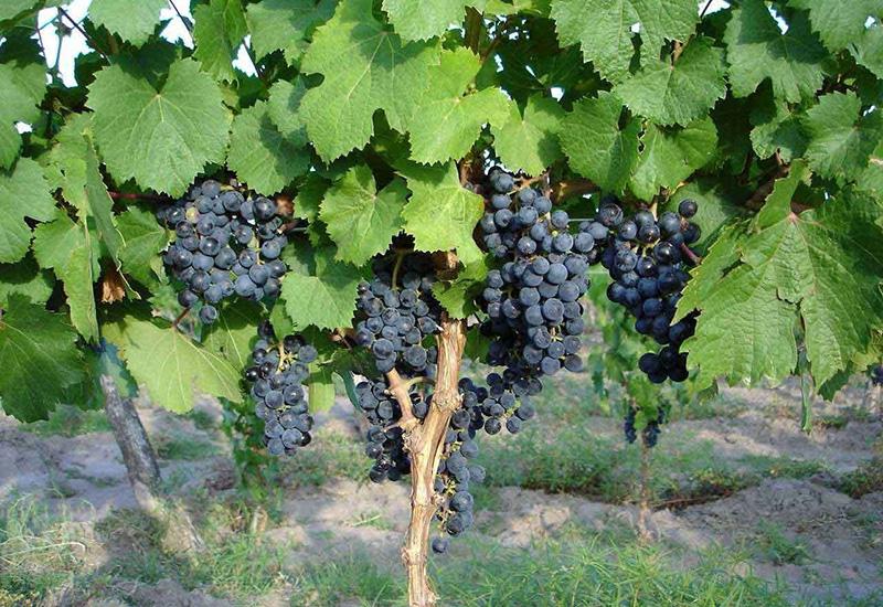 Виноград осенняя обрезка виноградника