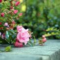 Как правильно укрыть розы на зиму в Подмосковье