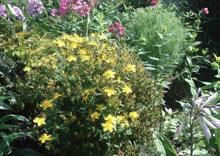 Трава зверобой: лечебные свойства и противопоказания