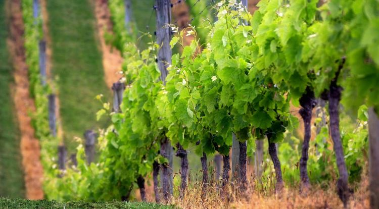 Когда укрывать виноград