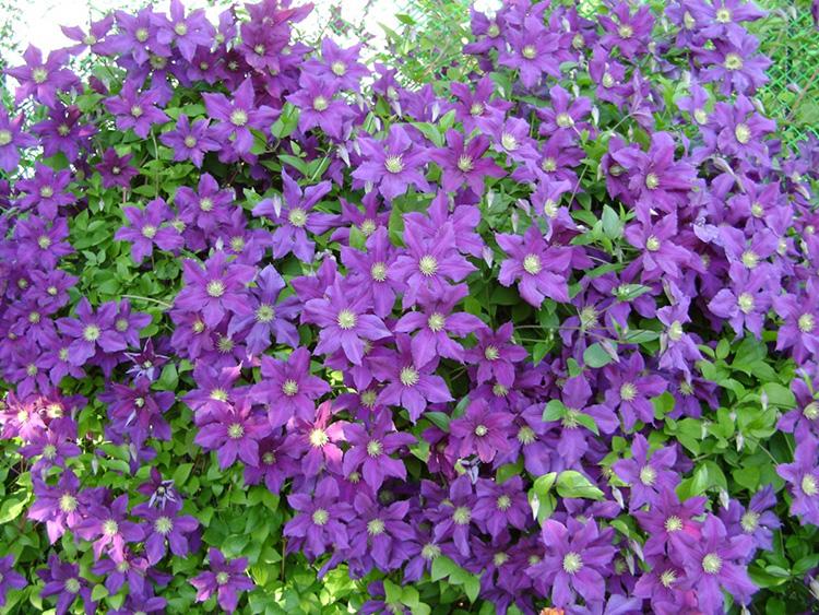 Многолетние цветы для сада - Клумбы и ландшафтный дизайн | 563x750