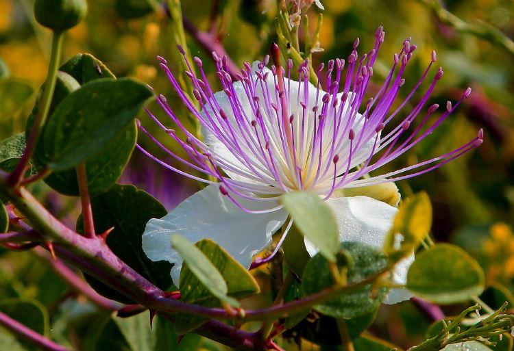Цветок каперсника