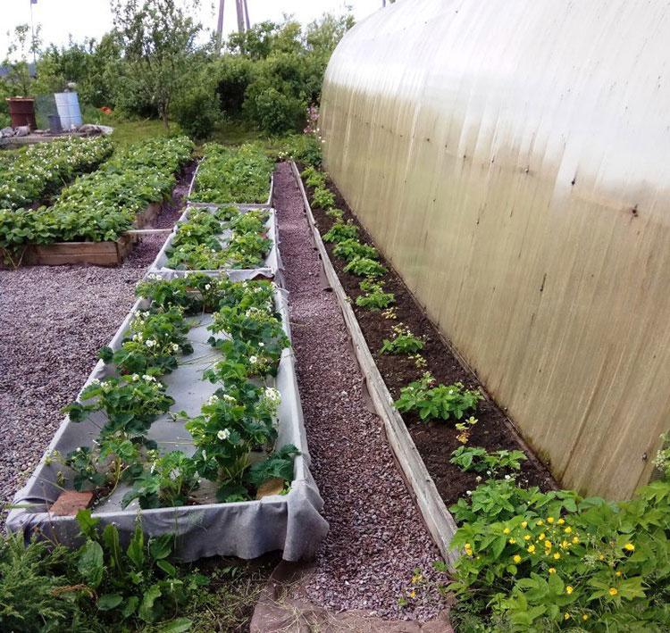 Всё о садовой землянике