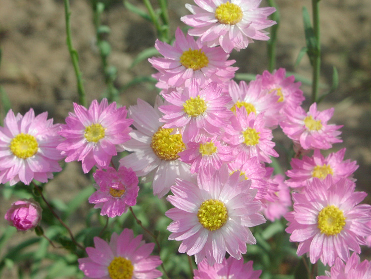 Определяем название садового цветка по фото