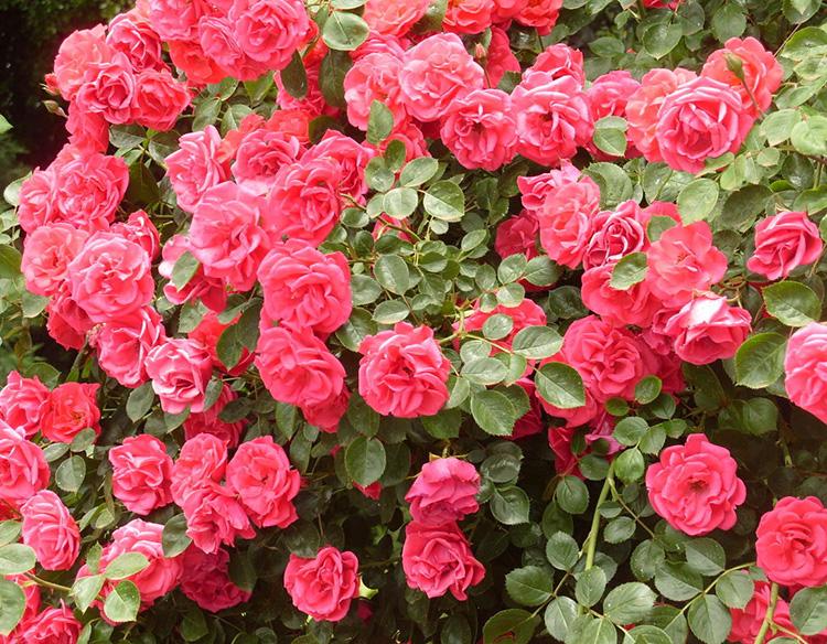 Как обрезать розы на зиму