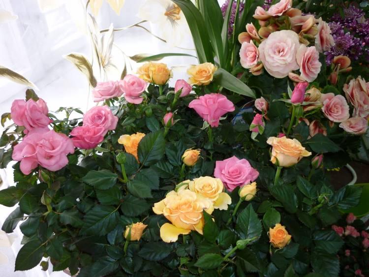 Домашние сорта роз