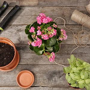 Каланхоэ: уход в домашних условиях, полезные свойства растения