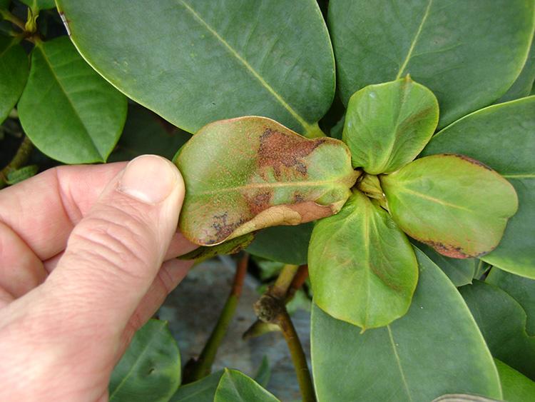 Растение рододендрон