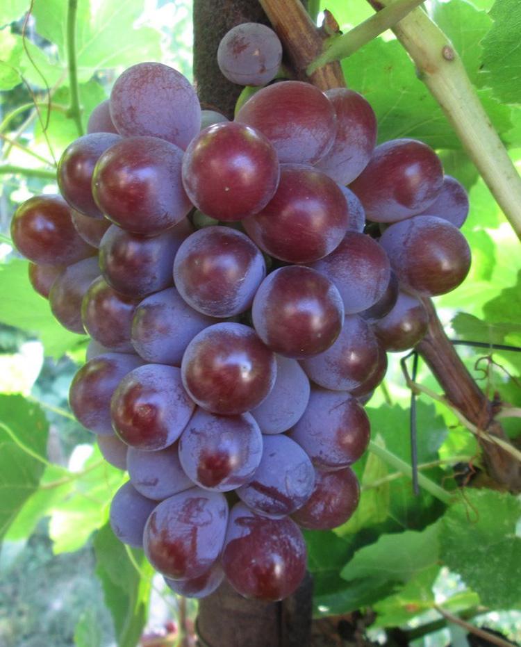 Для здоровья тела и духа: рецепты вина из винограда в домашних условиях