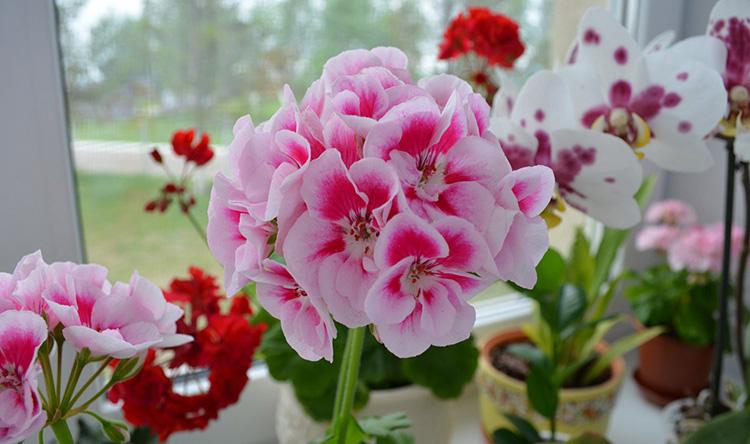 Советы цветоводу: уход за геранью в домашних условиях