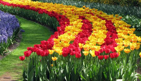 Посадка тюльпанов осенью: когда и как посадить луковицы для получения красивого цветника