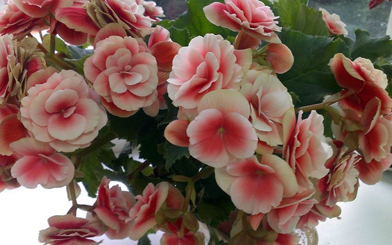 Уход за цветами бегония в домашних условиях