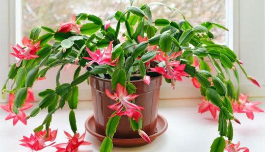 Выращивание в домашних условиях цветка декабрист: уход, приметы, разновидности