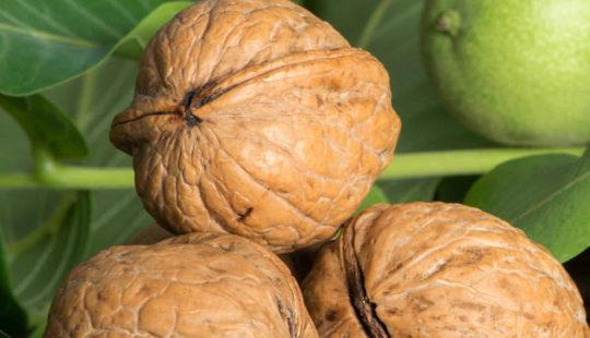 Грецкий орех: польза и вред для организма мужчины, женщины и ребёнка
