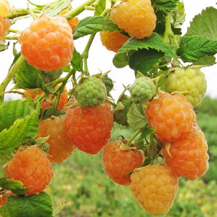 Секреты большого урожая: правильная обрезка малины осенью для начинающих (в картинках)