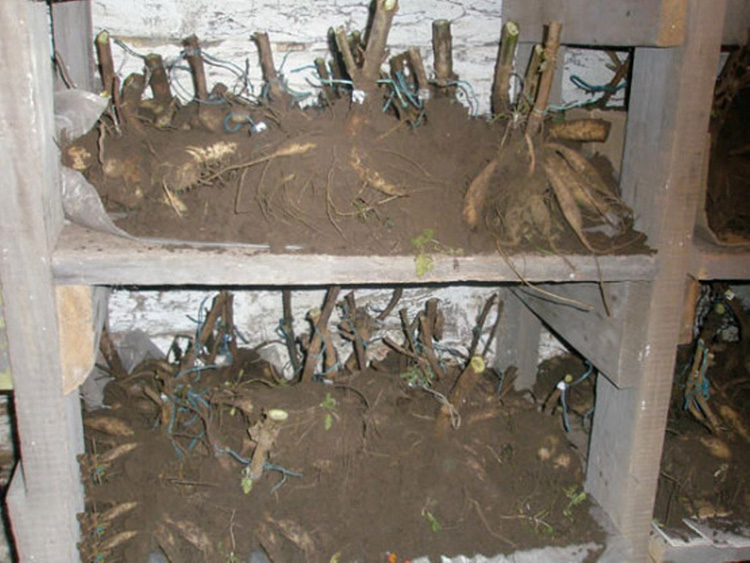 Как хранить георгины зимой в домашних условиях: места и способы, которые лучше всего для этого подходят