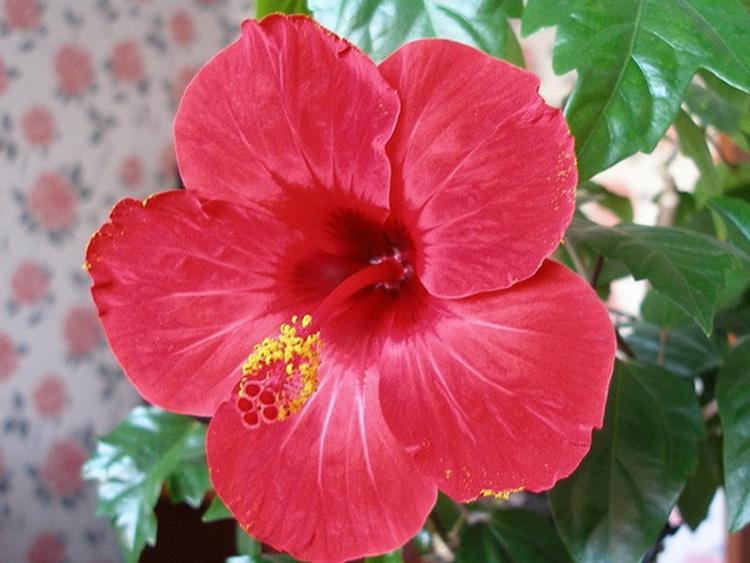Почему гибискус называют «цветком смерти»: вся правда о китайской розе