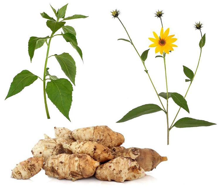 Топинамбур: польза и вред для организма, рецепты приготовления лекарств