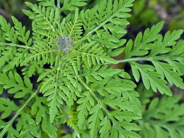 Осторожно – амброзия! Когда цветёт коварное растение, и почему людям стоит держаться от него подальше