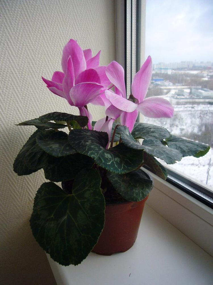 Яркий и праздничный цикламен: выращивание и уход в домашних условиях