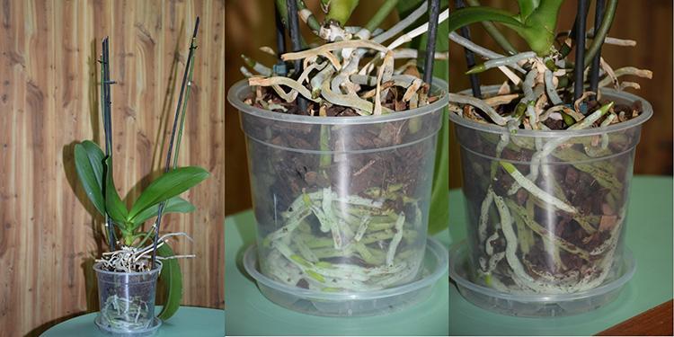 Рекомендация цветоводам: как пересадить орхидею в домашних условиях