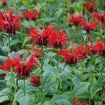 Бергамот − что это за растение? Фото, полезные свойства и применение