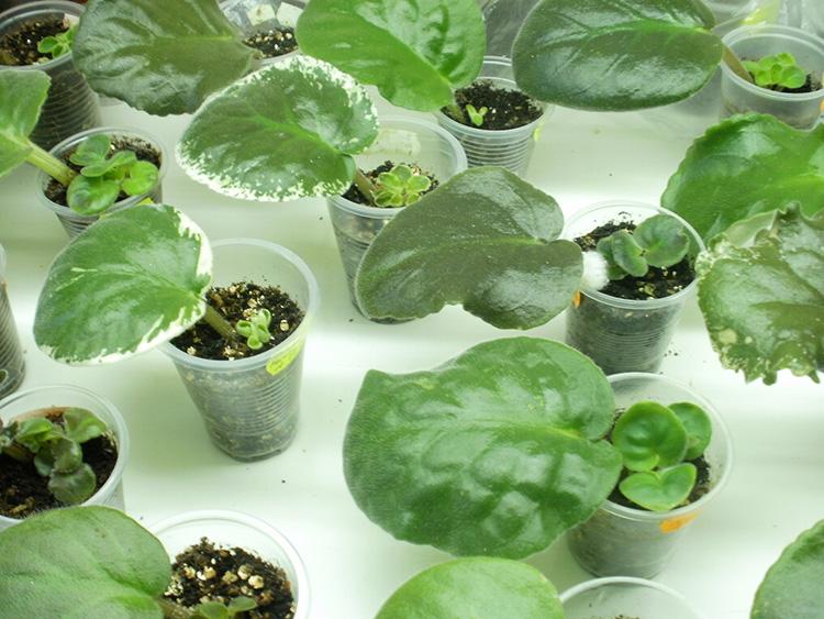 Фиалка: посадка и уход в домашних условиях, распространённые сорта, способы размножения