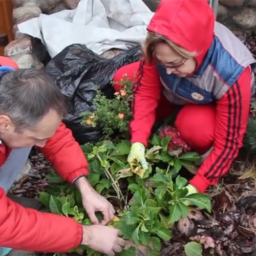 В ожидании весны: как укрыть гортензию на зиму
