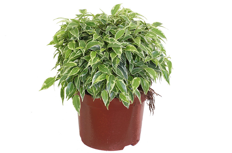 Вечнозелёный фикус Бенджамина — уход в домашних условиях, фото и рекомендации