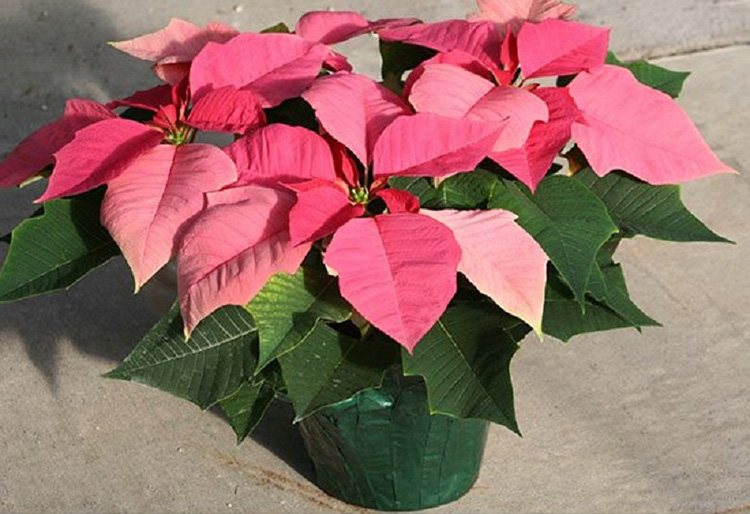 Рождественский цветок − пуансеттия: уход в домашних условиях, подкормка и способы размножения