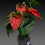 Цветок антуриума в домашних условиях: уход, фото видов растения