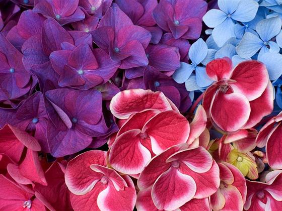 Всё, что вы хотели знать о гортензии: уход осенью и подготовка к зиме