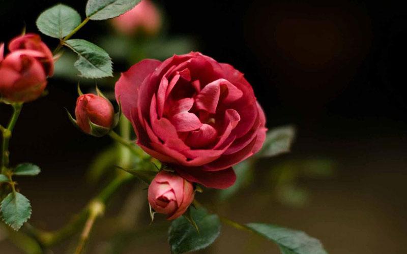 Хотите легко создать весной розарий из редких сортов? Проведите осенью черенкование роз в домашних условиях!