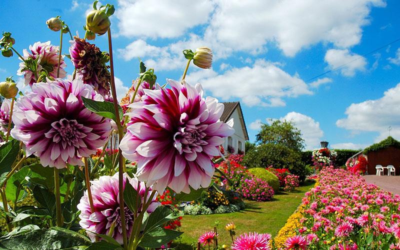 Секреты цветущего сада: когда выкапывать и как хранить георгины, чтобы сохранить посадочный материал