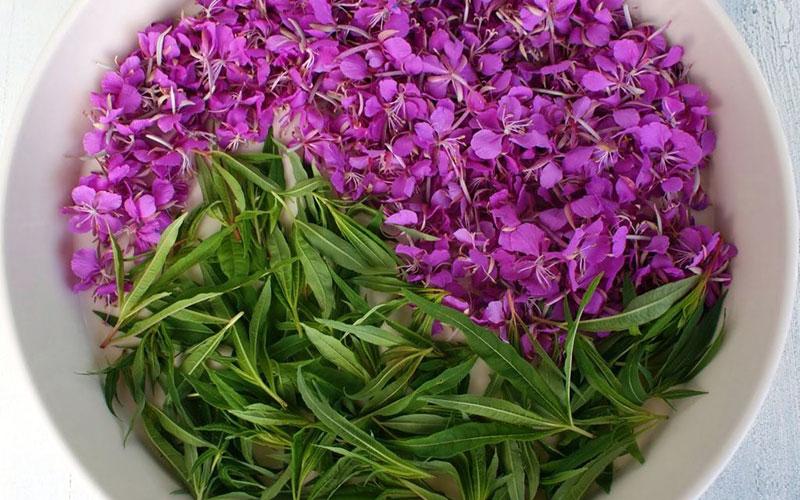Лекарственное растение иван чай
