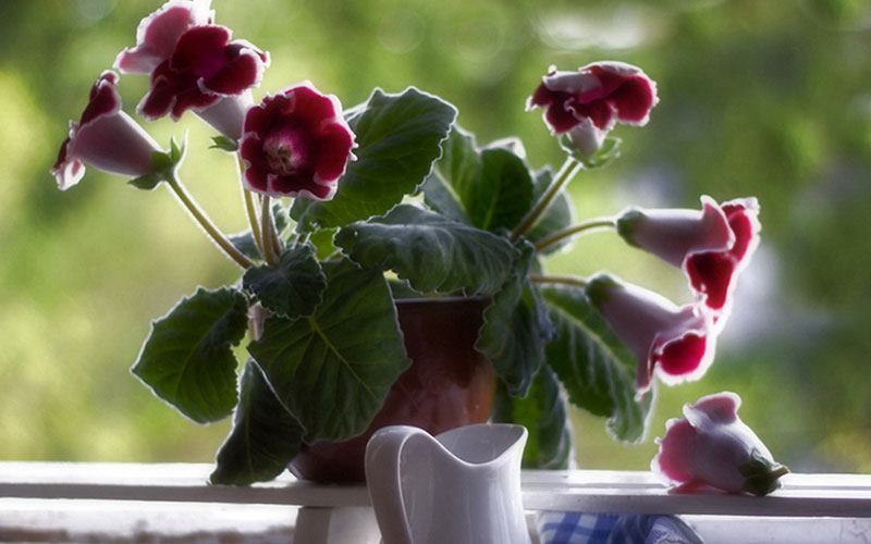 Уход за сказочной глоксинией в домашних условиях